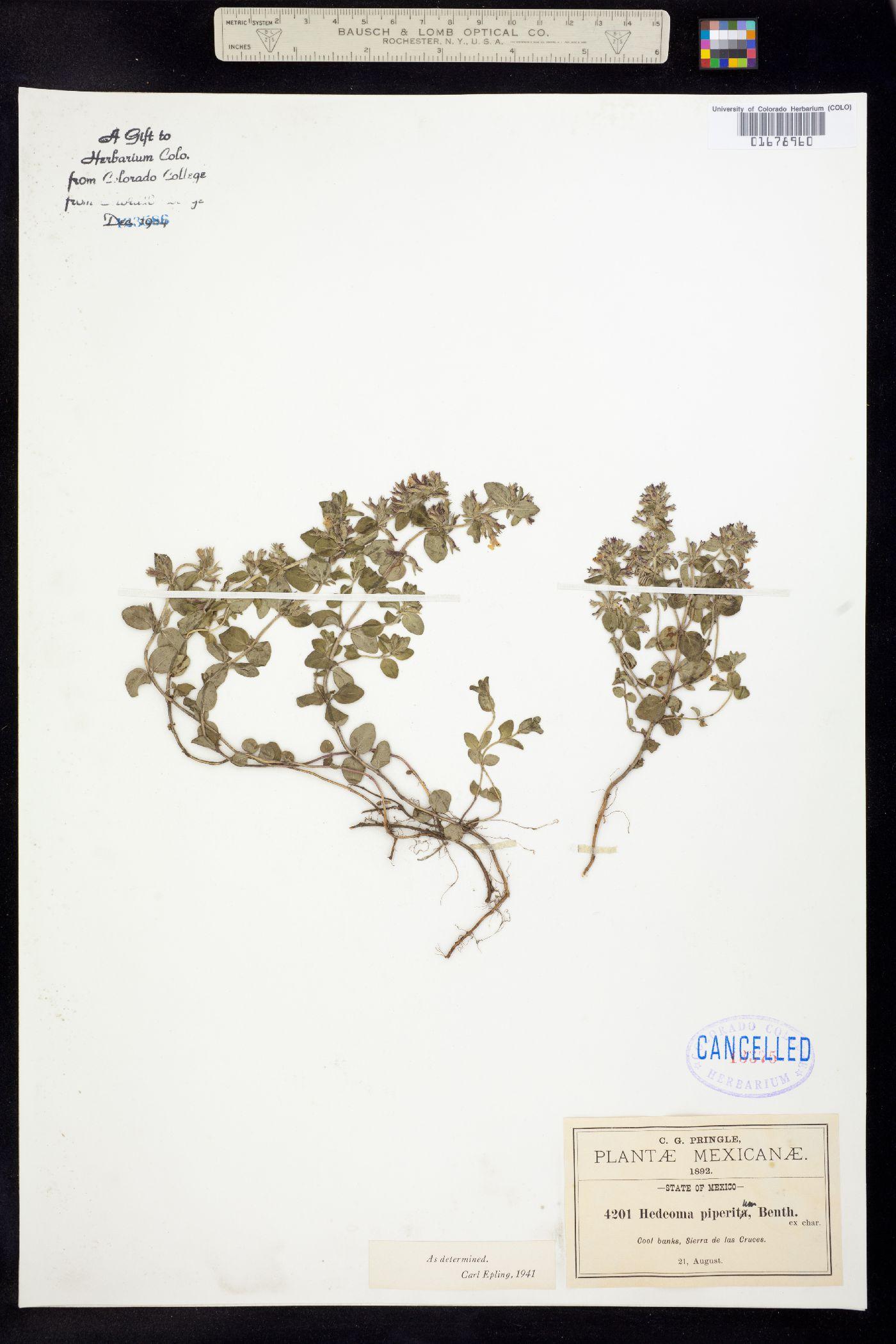 Hedeoma piperita image