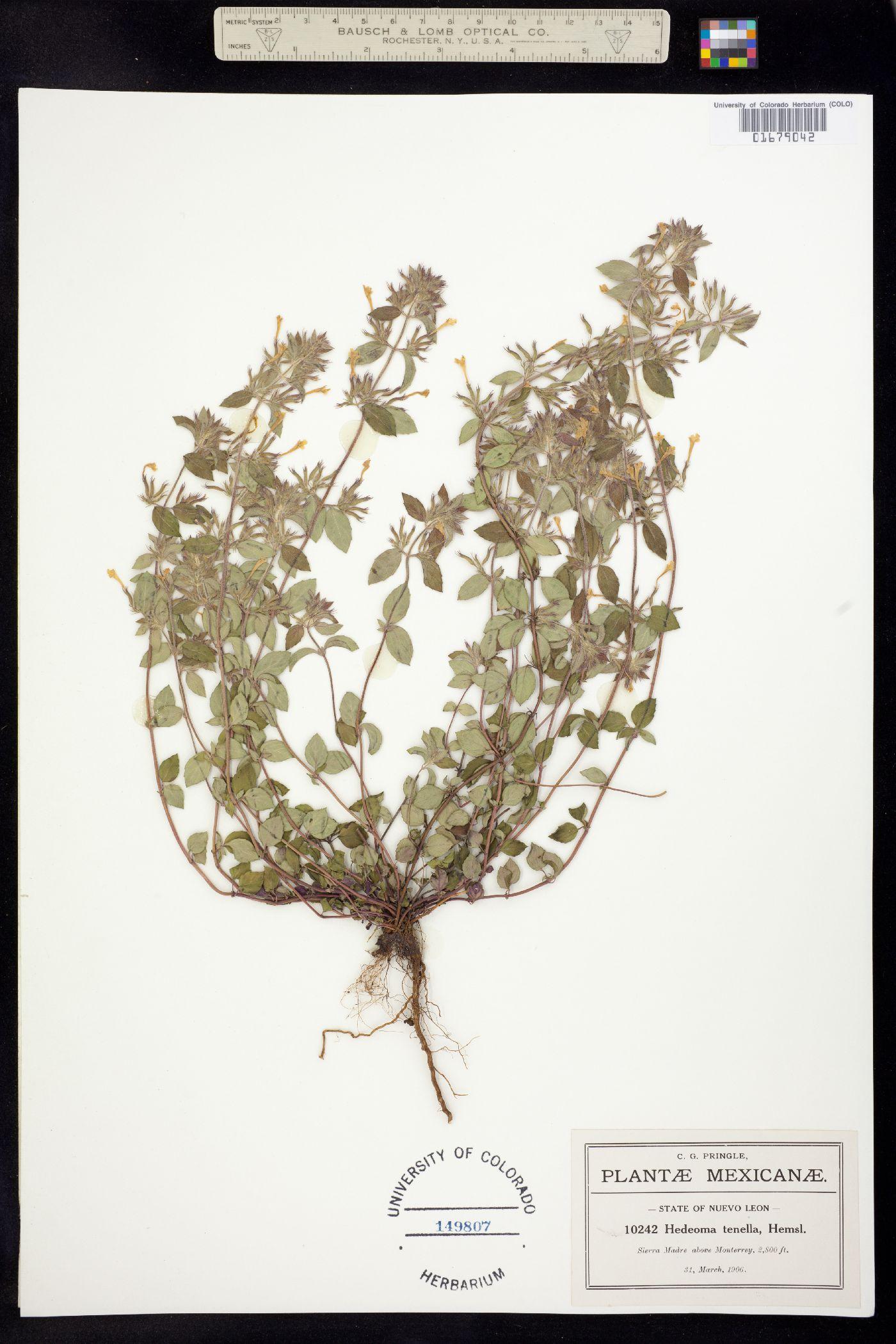 Hedeoma tenella image
