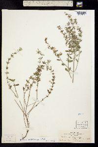 Image of Hedeoma pulcherrima