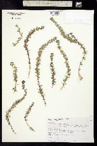 Image of Hedeoma plicata
