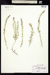 Image of Hedeoma hyssopifolia