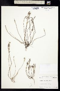 Image of Hedeoma acinoides