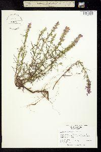 Image of Dicerandra odoratissima