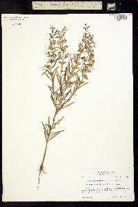 Image of Dicerandra linearifolia