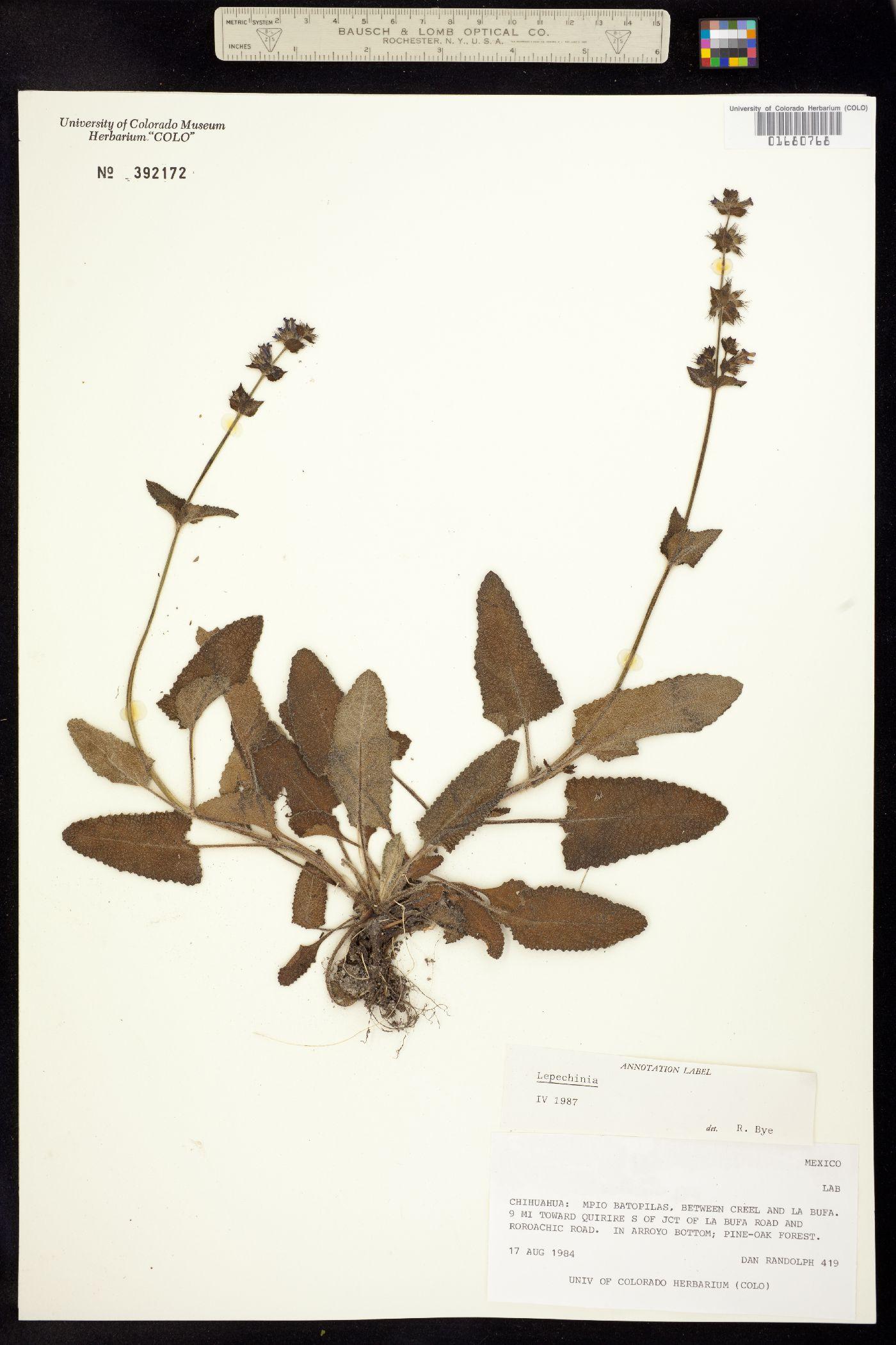 Lepechinia image