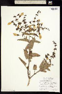Lepechinia cardiophylla image
