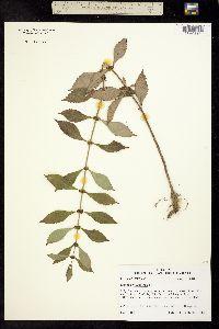 Image of Lycopus virginicus
