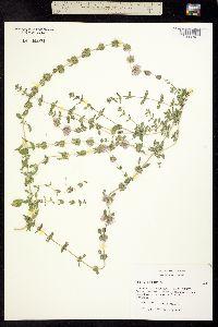 Image of Mentha pulegium