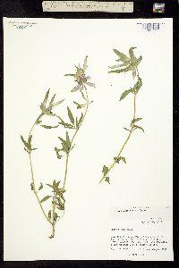 Monarda citriodora var. austromontana image