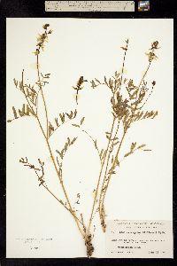 Image of Astragalus williamsii