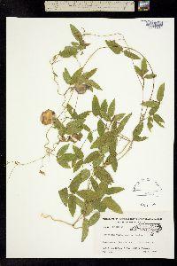 Image of Centrosema virginianum