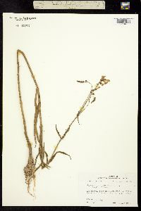 Image of Physostegia intermedia