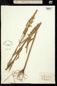Physostegia intermedia image