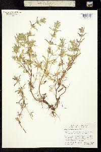 Image of Pogogyne nudiuscula