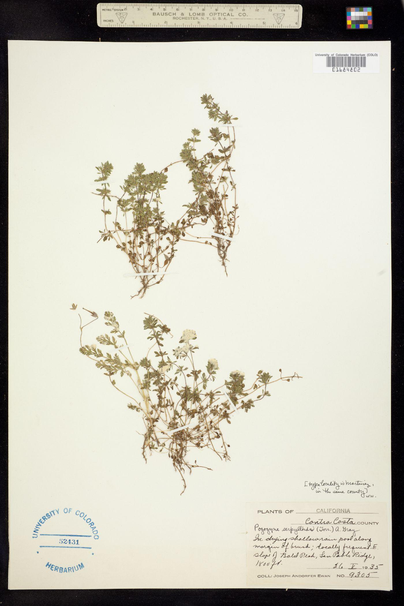 Pogogyne serpylloides image