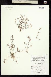 Image of Pogogyne abramsii
