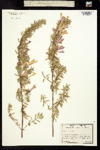 Image of Poliomintha longiflora