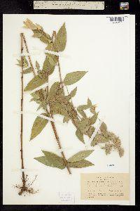 Image of Pycnanthemum californicum