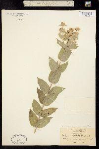 Pycnanthemum californicum image