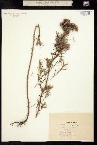 Image of Pycnanthemum flexuosum