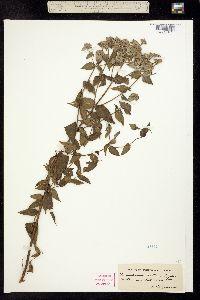 Image of Pycnanthemum muticum