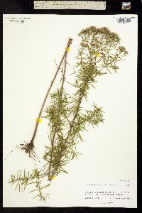 Image of Pycnanthemum tenuifolium