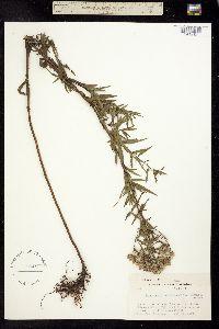 Image of Pycnanthemum virginianum
