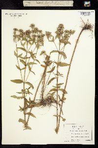 Image of Pycnanthemum setosum