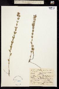 Image of Pycnanthemum nudum