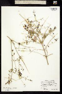 Salazaria mexicana image