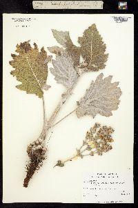 Salvia aethiopis image
