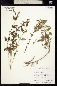 Image of Salvia arizonica