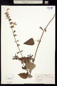 Image of Salvia coccinea