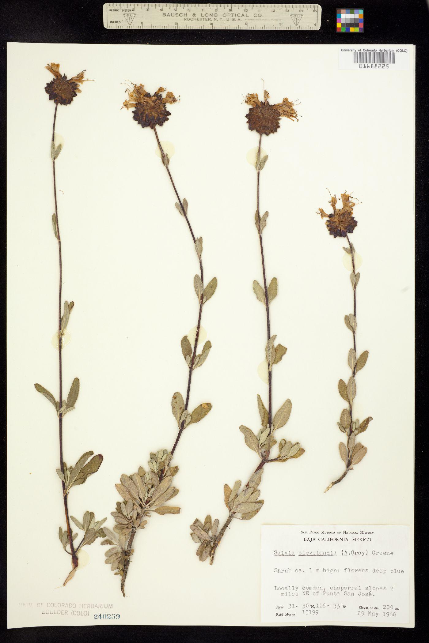 Salvia clevelandii image
