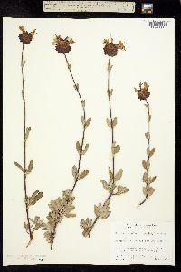 Image of Salvia clevelandii