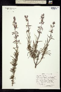Trichostema parishii image