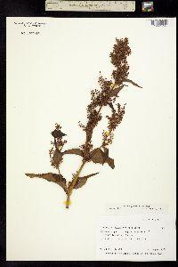 Image of Aconogonum alaskanum