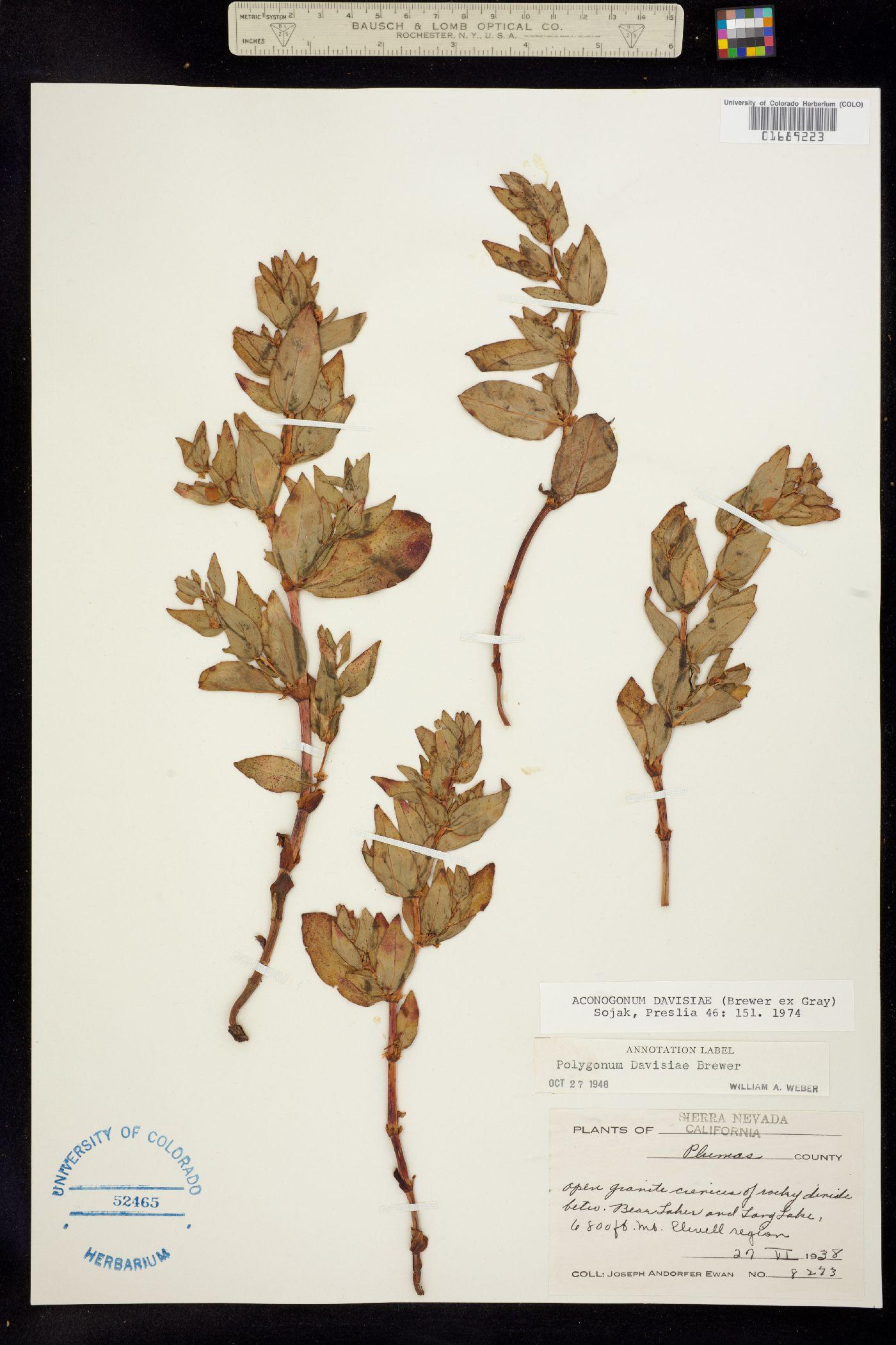 Aconogonum davisiae image