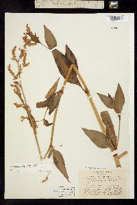 Image of Aconogonum phytolaccifolium