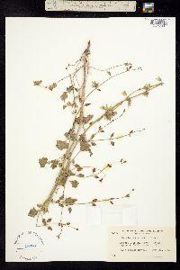 Image of Salvia henryi