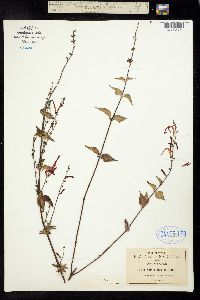 Salvia elegans image