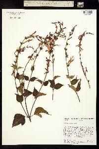 Image of Salvia elegans