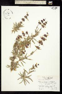 Salvia eremostachya image