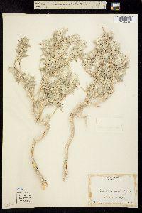 Image of Salvia funerea