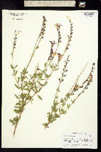 Image of Salvia greggii