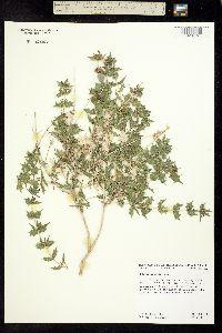Image of Salvia greatai