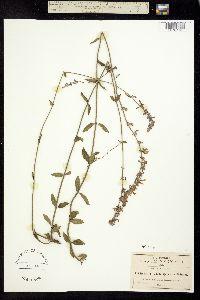 Image of Salvia guadalajarensis