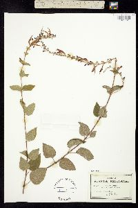 Salvia iodantha image