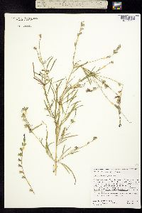 Salvia leptophylla image