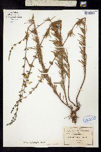 Image of Salvia leptophylla